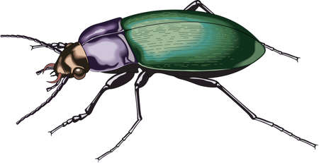 Ground Beetle Illustration