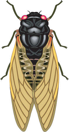 Cicada Illustration Illustration