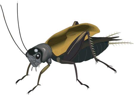 Field Cricket Illustration