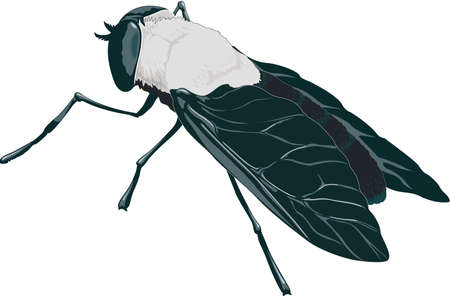 Horse Fly Illustration