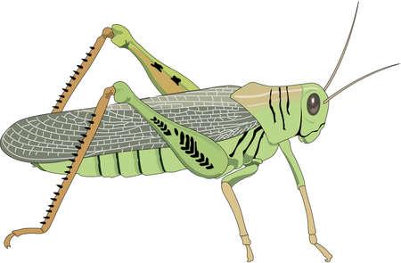 Grasshopper Illustration Illustration