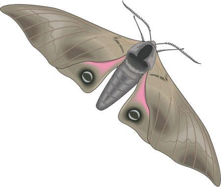 Sphinx Moth Illustration