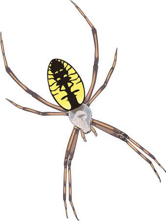 Golden Garden Spider Illustration