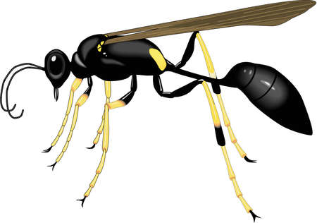 Black and Yellow Mud Dauber Illustration Çizim