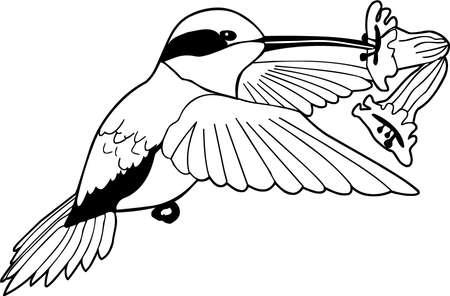 Allens hummingbird illustration.