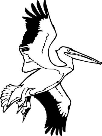 American White Pelican illustration.