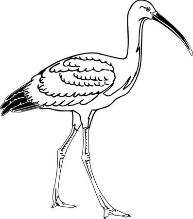 Scarlet Ibis illustration. Illustration