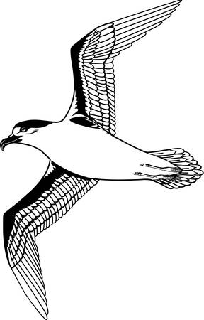 Petrel illustration.