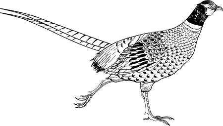 Ring Necked Pheasant illustration.
