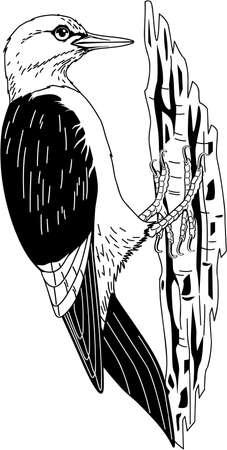 Red Headed Woodpecker illustration.