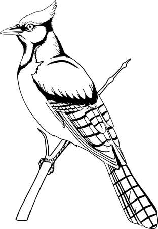 Blue Jay illustration.