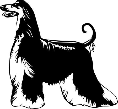 Afghan Hound Illustration. Çizim
