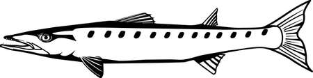 Barracuda Illustration