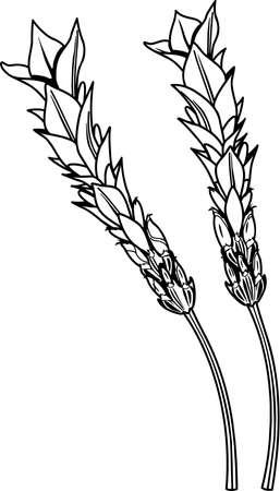 Lavender Illustration