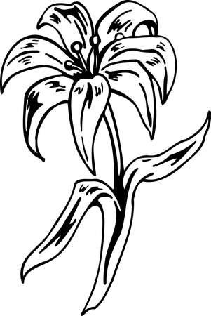 Easter Lily Illustration.