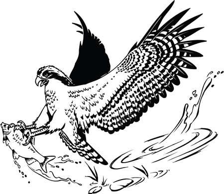 Osprey with Fish Illustration Illustration