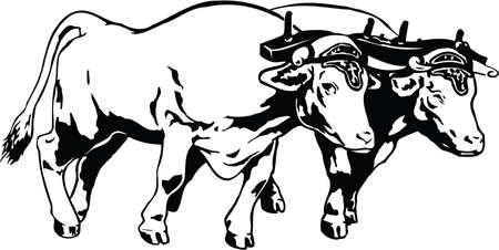 Oxen Illustration