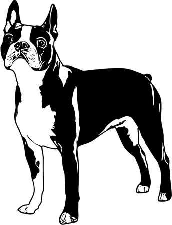 Vector Illustration of a Boston Terrier Illustration