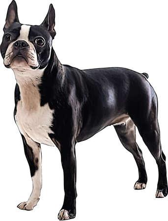 Vector Illustration of a Boston Terrier Illustration