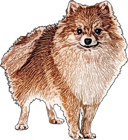 Vector Illustration of a Pomeranian Dog
