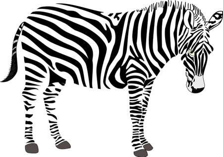 Illustration vectorielle de zèbre Vecteurs