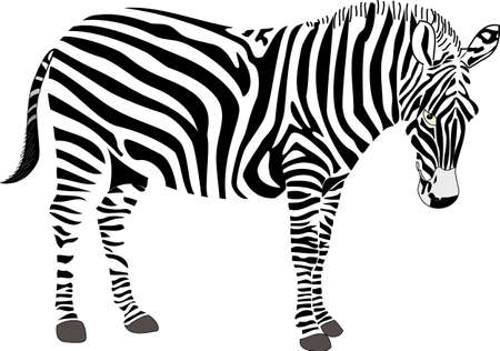 Zebra-Vektor-Illustration Vektorgrafik