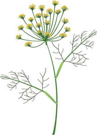 Dill Herb Vector Illustration Фото со стока - 138245799