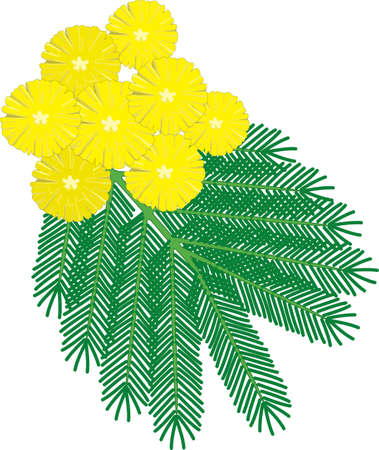Mimosa Flower Vector Illustration  イラスト・ベクター素材