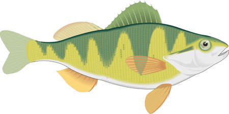 Perch Vector Illustration Illusztráció