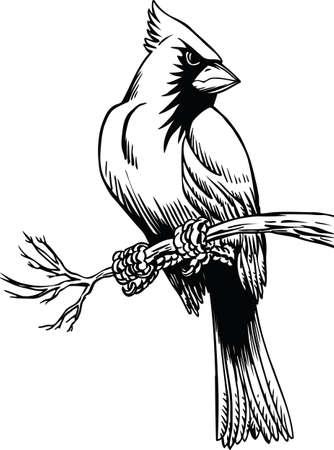 Cardinal Sitting Vector Illustration Çizim