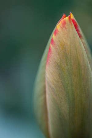 slight: Beautiful yellow-red Tulip closeup with a slight blur