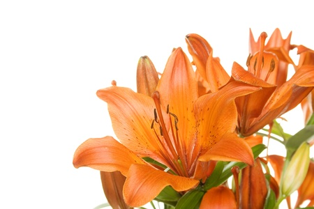 day lily: Flowers orange tiger lily