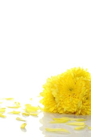 oxeye: Yellow chrysanthemums