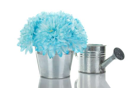 Blue chrysanthemums in a pail photo