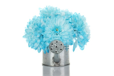 gerber flowers isolated on: Watering can with blue flowers