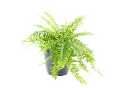 Nephrolepis fern Stock Photo