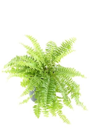 Nephrolepis fern Stock Photo
