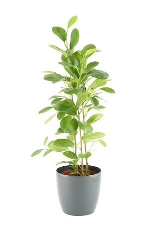 Ficus tree Stock Photo