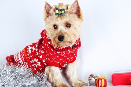 Close-up of Yorkshire Terrier  Meeting Christmas  New Year  Stock Photo