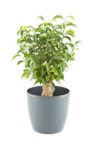Close-up of a ficus tree in flowerpot photo