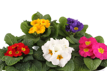 blume: Close-up many Primrose potted plants Isolated on white background