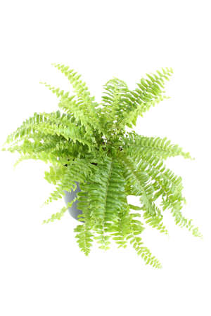 fern: Close-up of Nephrolepis fern in a pot. Isolated on white background