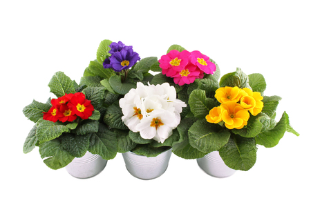 nb: Close-up many Primrose potted plants. Isolated on white background