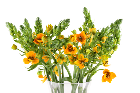 Beautiful bouquet of ornithogalum orange. Isolated on white background