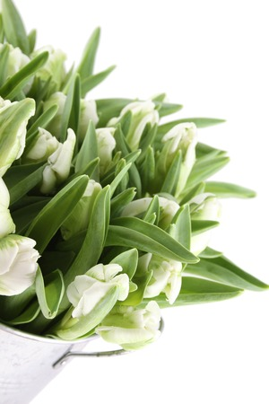 nb: Beautiful bouquet of white tulips in a aluminum pail. Isolated