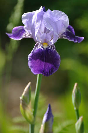 irises: Close up of Purple Bearded Iris Flower in Garden Stock Photo