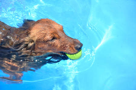 Red Long-Haired Dachshund Swimming in a Pool photo