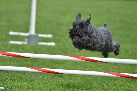 miniature breed: Schnauzer miniatura negro saltando sobre un salto a una versión de prueba la agilidad del perro Foto de archivo