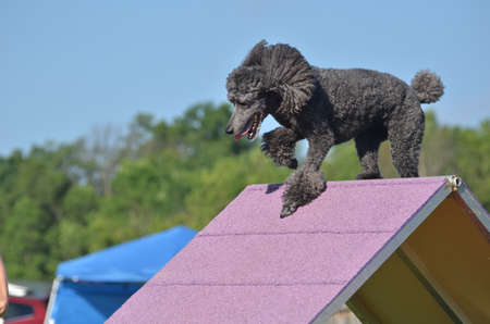 standard poodle: Silver Standard Poodle Climbing an A-frame at a Dog Agility Trial Stock Photo