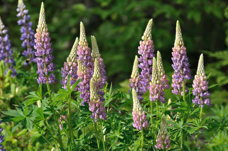 Purple  and Pink Wild Lupines on a Sunny Spring Morning photo